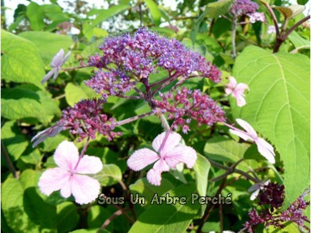 Velvet and Lace (H. aspera)