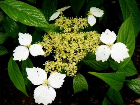 Macrosepala (H. angustipetala)