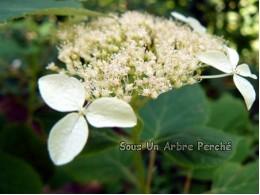 Radiata (H. arborescens)