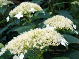 White Dome (H. arborescens)