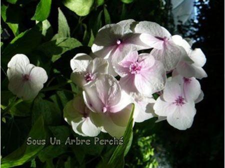 Junihitoe (H. macrophylla)