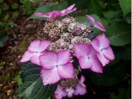 Beauté de Mahalon (H. macrophylla)