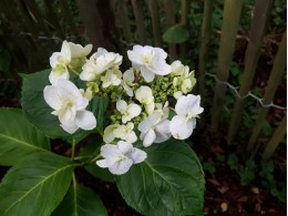 Izu-no-odoriko (H. macrophylla)