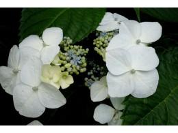 Takao (H. macrophylla)