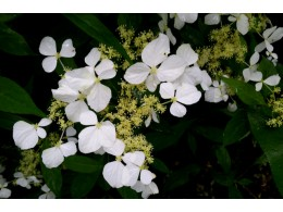 Hydrangea petalanthe