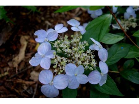 Shingu Samidare (H. serrata x luteovenosa)