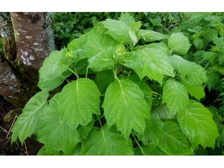 Sikokiana (H. sikokiana)