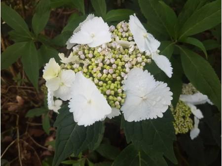 Zoé (H. macrophylla)