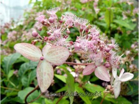 Cardiandra alternifolia 'Pink Geisha'