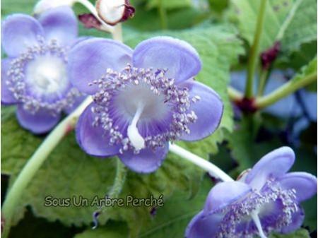 Deinanthe caerulea 'Blue Wonder'