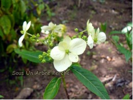 Formosana (H. angustipetala)