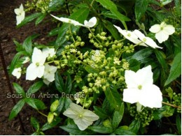 Obovatifolia BSWJ 3487 (H. angustipetala)