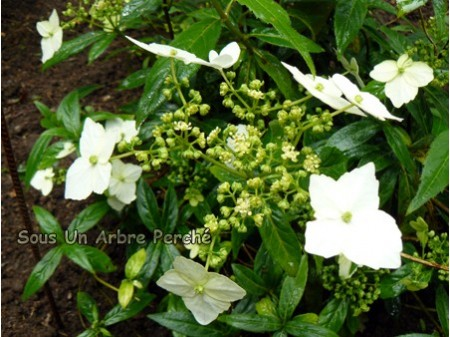 Obovatifolia (H. angustipetala)