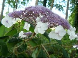 Macrophylla (H. aspera)