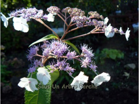 Rocklon (H. strigosa)