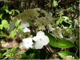 Chinensis (H. chinensis)