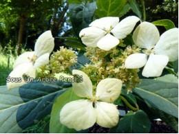 Umbellata (H. chinensis)