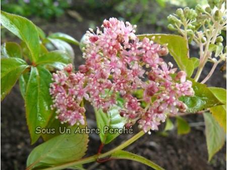 Benzaki Koajisai (H.hirta x luteovenosa)