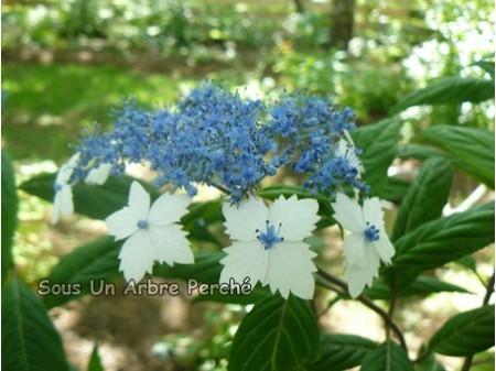 Indochinensis (H. indochinensis)