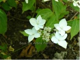 Mine-no-yuki (H. serrata x luteovenosa)