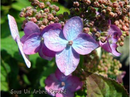 Acuminata n°2 (H. serrata)