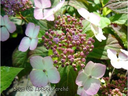 Akabana Yama (H. serrata)