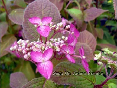 Ao Yama (H. serrata)