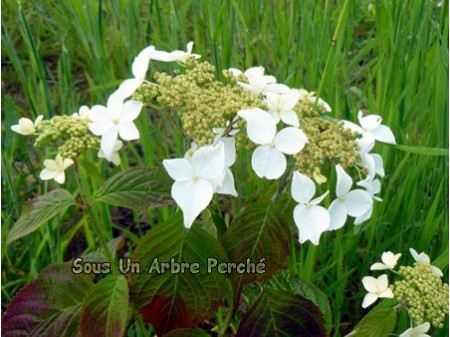 Awa Shiro (H. serrata)