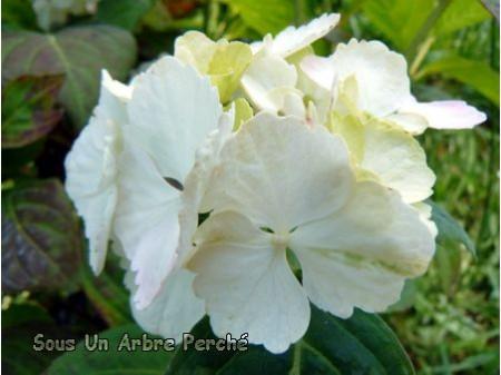 Beni-temari (H. serrata)