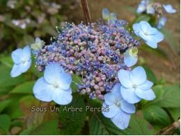 Blue Billow (H. serrata)