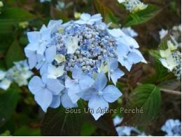 Blue Deckle (H. serrata)