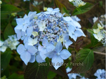Blue Deckle (H. serrata)