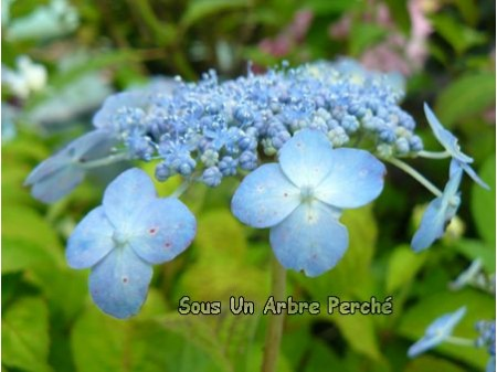 Blue Note (H. serrata)