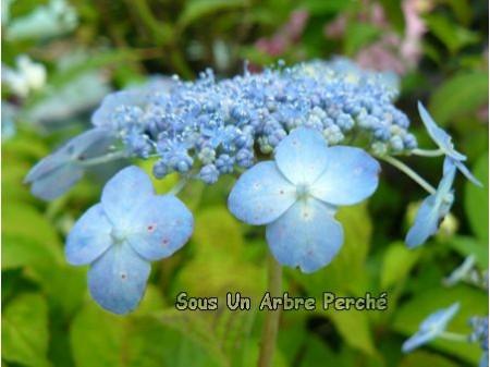Blue Note (H. serrata)