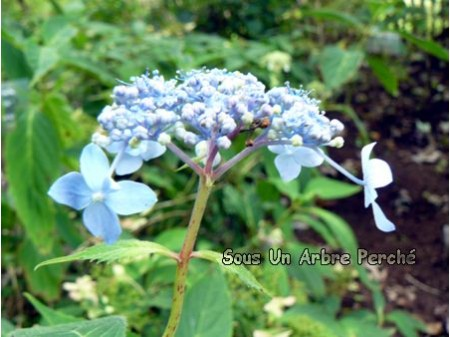 Crûg Cobalt (H. serrata)