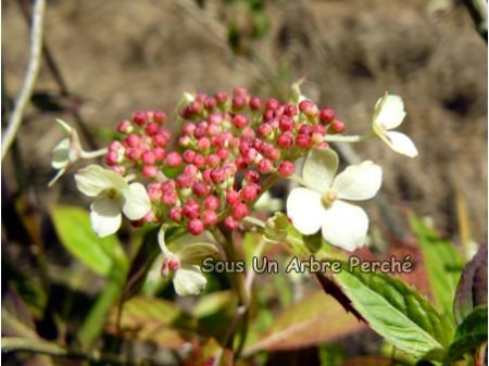 Dwarf White (H. serrata)
