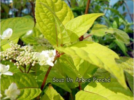 Golden Sunlight (H. serrata)