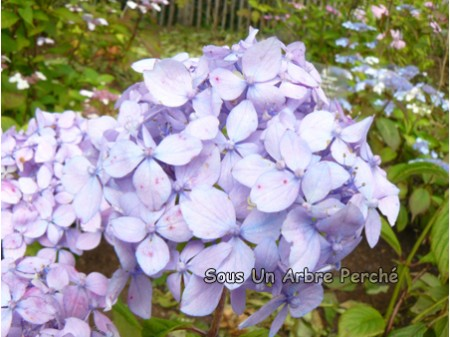 Hachibuse-temari (H. serrata)