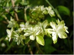 Hagoromo-no-mai (H. serrata)