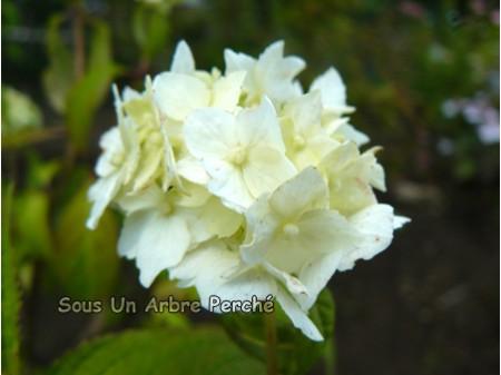Hakusen (H. serrata)