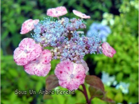 Hime Amacha (H. serrata)