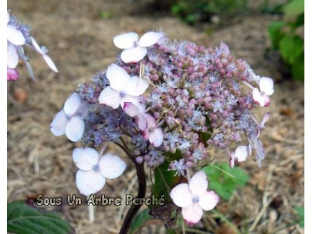 Iyo-komachi (H. serrata)
