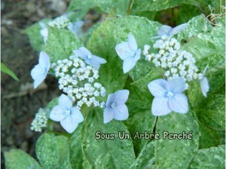 Kujusan (H. serrata)