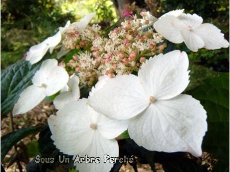 Macrosepala (H. serrata)