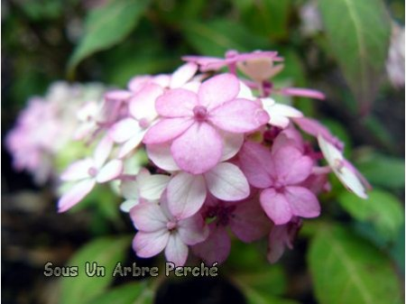 Maiko (H. serrata)