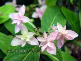Midoriboshi-temari (H. serrata)