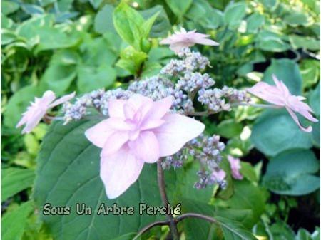 Purple Tiers (H. serrata)