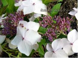 Odoriko Amacha (H. serrata)