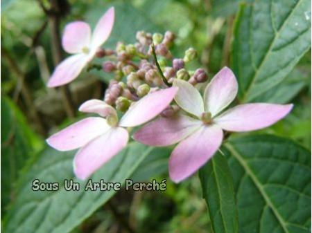 Etoile Rose (H. serrata)