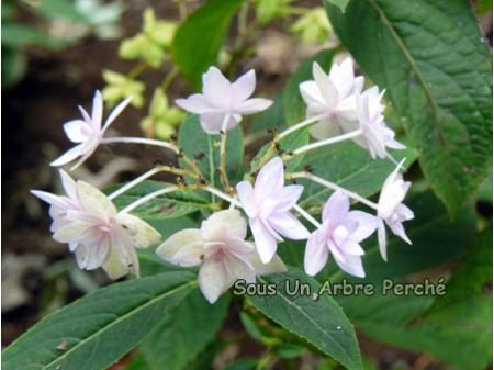 Prolifera (H. serrata)